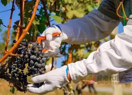 葡萄酒庄采摘节