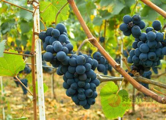 舊世界葡萄酒