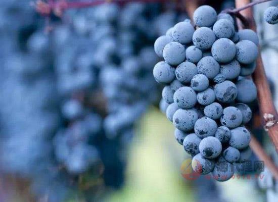什么葡萄適合釀造起泡酒,除了霞多麗和黑皮諾還有哪些