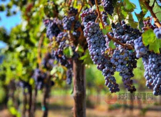 葡萄如何制作成葡萄酒,葡萄變成葡萄酒的蛻變過程