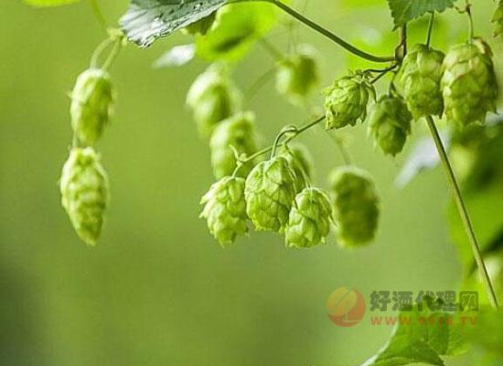 啤酒花是什么含酒精吗,啤酒花在啤酒中的作用